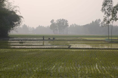 Picking rice