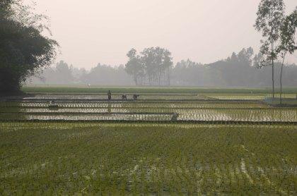 Picking rice