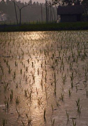Rice sunset